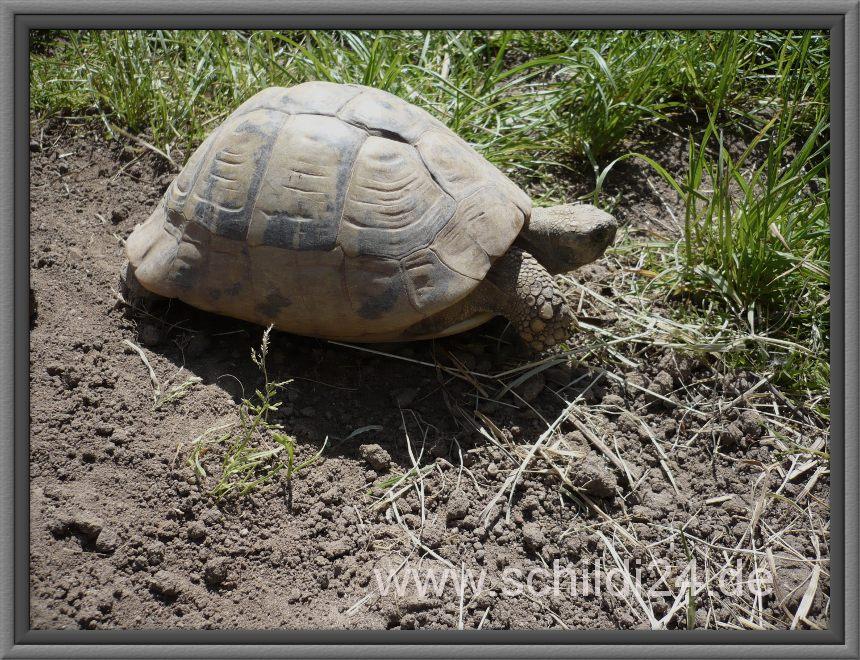 Größte Landschildkröte Der Welt