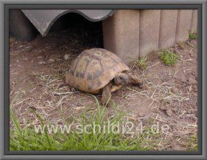 Schildkröte in Außenhaltung
