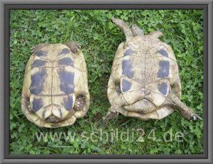 Schildkröten geschlecht